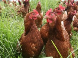 Poultry farm chickens